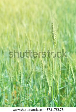 Green barley rice field.Wheat field. - stock photo