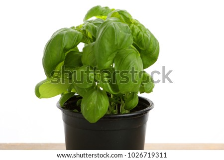 green basil in a pot with white background