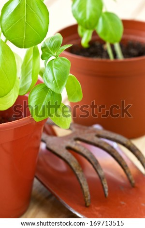green basil sprouts in a pot and garden tools on a wooden background - stock photo