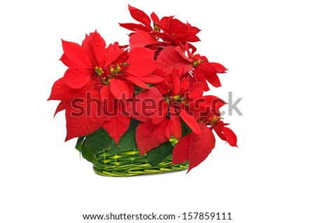 green basket with poinsettia. red christmas flower on white background