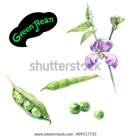 Green bean pea watercolor illustration. Kitchen herbs watercolor isolated on white background. - stock photo