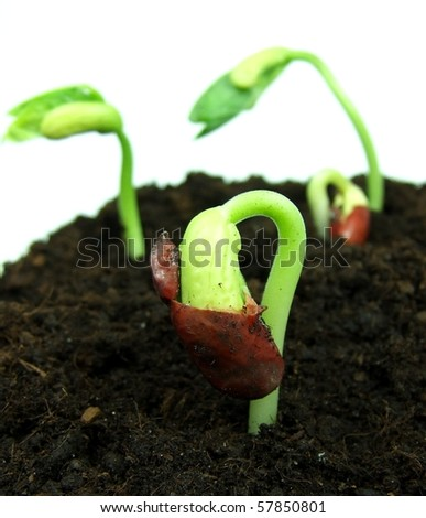 green bean seed growing in soil - stock photo