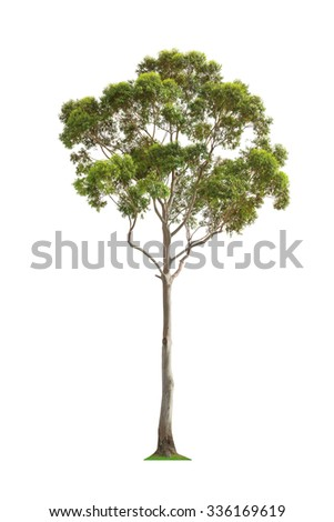 Green beautiful and tall eucalyptus tree isolated on white background - stock photo