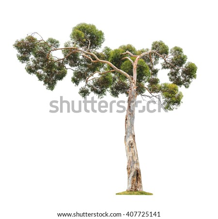 Green beautiful old and big eucalyptus tree with asymmetric crown isolated on white background - stock photo