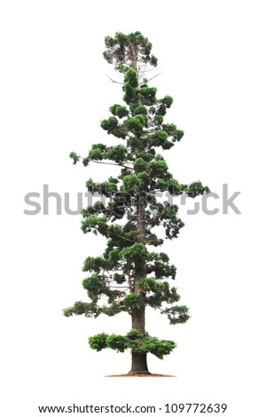 Green beautiful old and tall tree  on white background - stock photo