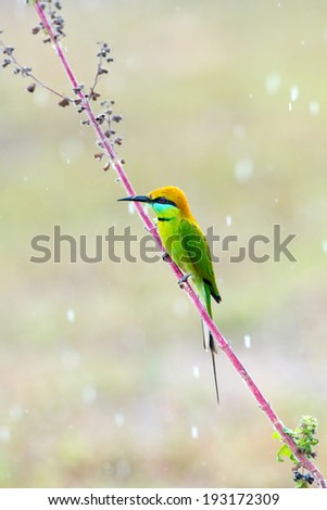 Green Bee-eater bird on pink twig  - stock photo