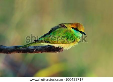 Green Bee - eater / little green bee-eater - stock photo