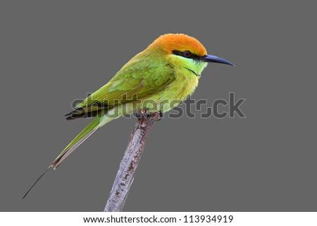 Green Bee - eater/ little green bee-eater - stock photo