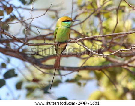green bee eater (merops orientalis) - stock photo