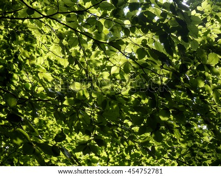 green beech trees in sun, color detail summer photography of tree - stock photo