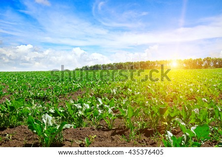 green beet field and blue sky - stock photo