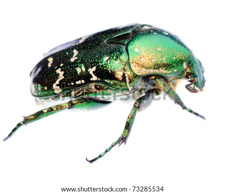 green beetle insect rose chafer isolated - stock photo