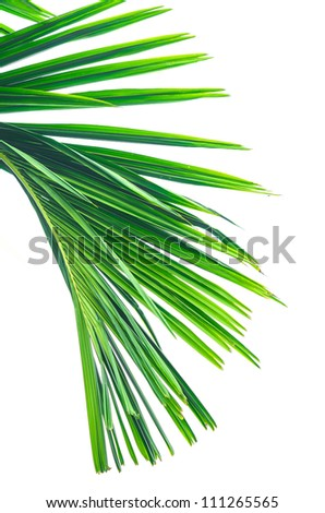 Green betel palm leaf on white background with a clipping path - stock photo
