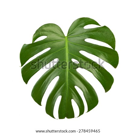 Green big leaf isolated on white background - stock photo