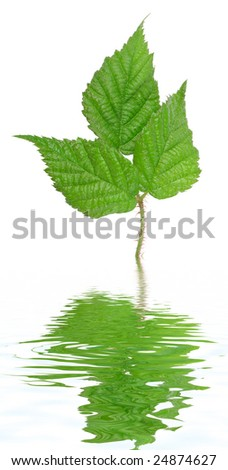Green billberry leaf. Isolated on white