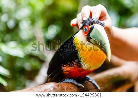 Green billed toucan receiving caress from human hand in rainforest in Brazil. His eyes are opened.