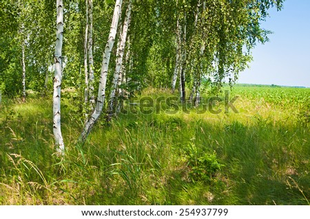 Green Birch forest in spring sunny day - stock photo