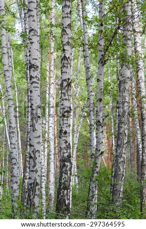green birch forest in the summer - stock photo