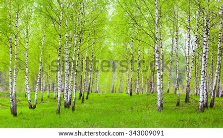 Green birch forest springtime landscape Russian