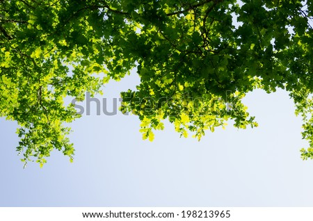 green birch leaves shining in the sun on blue sky background