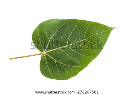 Green bodhi leaf on the white background. - stock photo