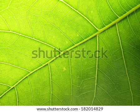 green bodhi leaves - stock photo
