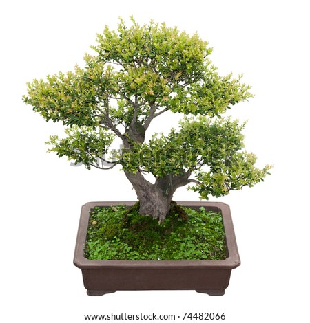 green bonsai tree  in a ceramic pot  isolated on white - stock photo