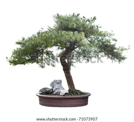 green bonsai tree isolated on white - stock photo
