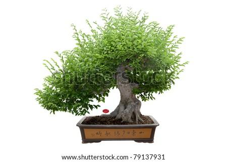 green bonsai tree isolated on white,miniature tree. - stock photo