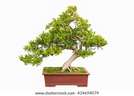 green bonsai tree of chinese littleleaf box isolated on a white
