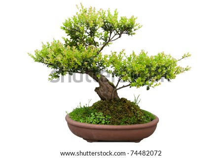 green bonsai tree of elm in a ceramic pot - stock photo