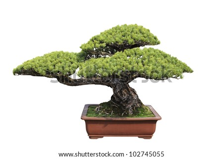 green bonsai tree of pine with white background