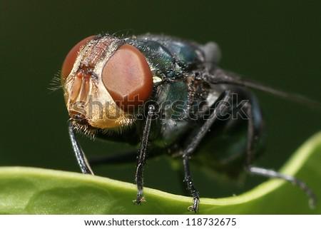 Green Bottle Fly - stock photo