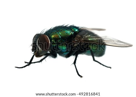 Green bottle fly isolated on white