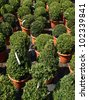 Green boxwood trees in flowerpots for sale - stock photo