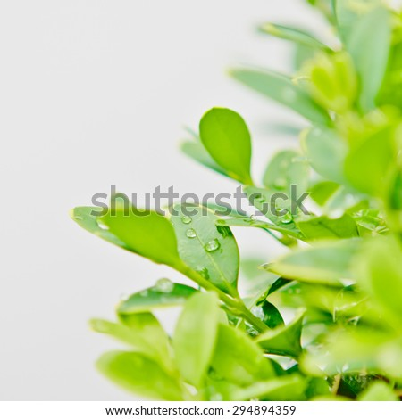 Green boxwood with raindrops