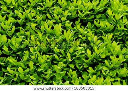 Green boxwood with raindrops wallpaper background - stock photo