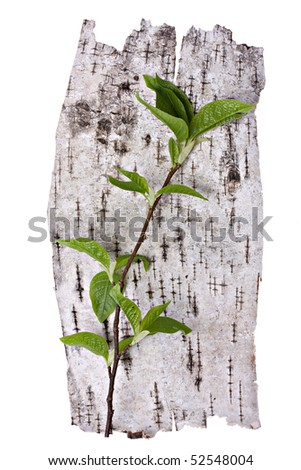 Green branch and birch bark background - stock photo