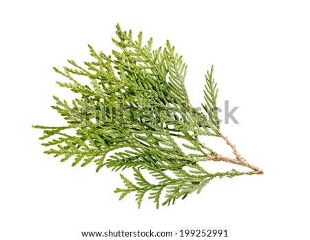 green branch of a thuja isolated on white background - stock photo