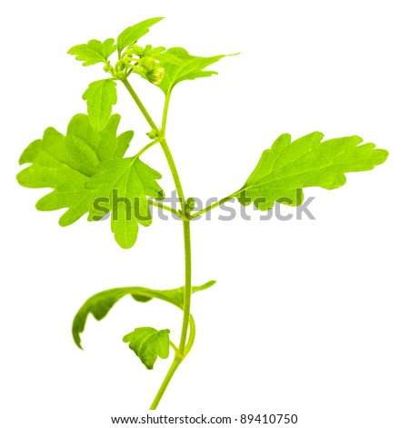 Green branch of chamomile isolated on a white background - stock photo