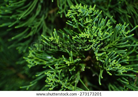 Green branch of pine-tree - stock photo