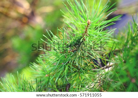 Green branch of pine tree witn cone.