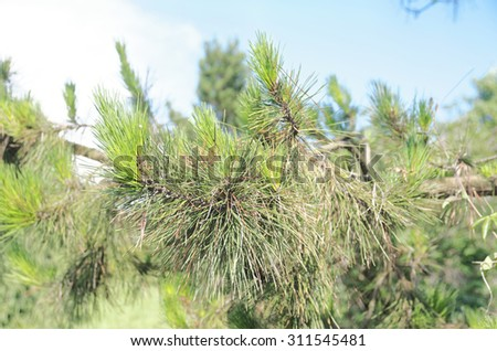 Green branch pine with the sky visible in the background - stock photo