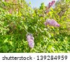 Green branch with beautiful spring lilac (syringa) flowers against blue sky background - stock