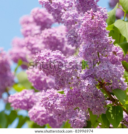 Green branch with spring lilac flowers closeup - stock photo