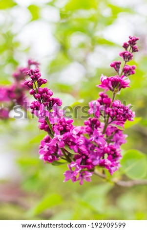 Green branch with spring purple lilac flowers  - stock photo