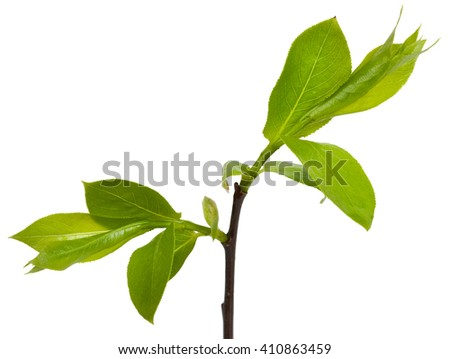 Green branch, young sprouts with leaves, isolated on white background. Close-up.