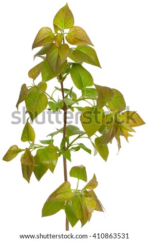 Green branch, young sprouts with leaves, isolated on white background. Close-up.  - stock photo