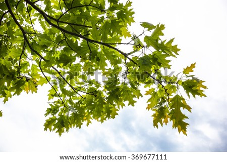 Green branches of the oak tree with tiny young acorns against the white sky background - stock photo