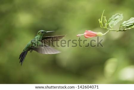 Green breasted mango hummingbird feeding from pink flower. - stock photo